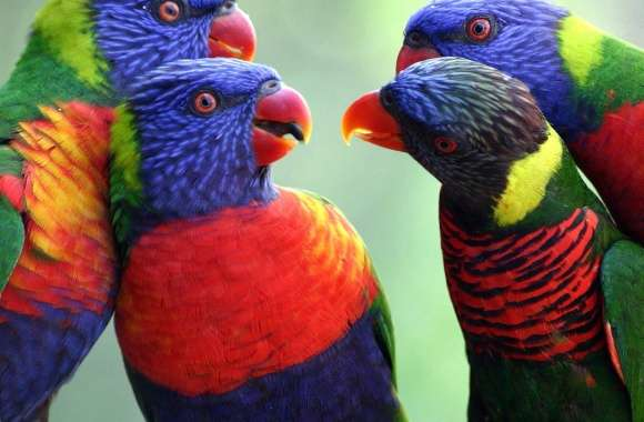 Rainbow lorikeets meeting wallpapers hd quality