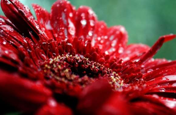 Red Gerbera Daisy Drops