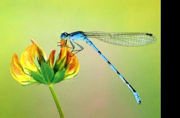 Thin dragonfly blue