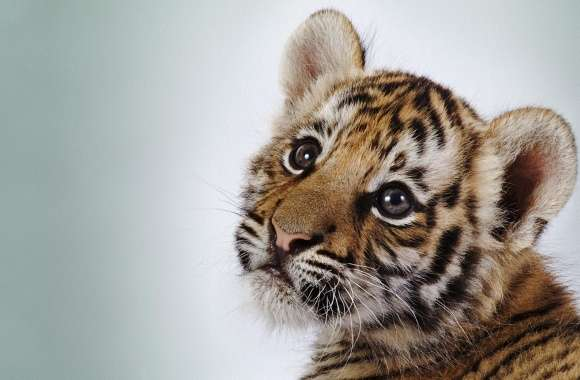 Tiger Cub wallpapers hd quality