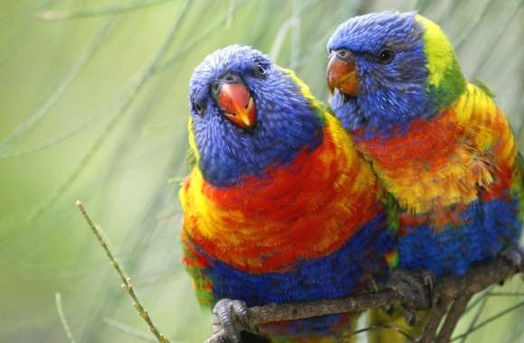 Two parrots coloured wallpapers hd quality
