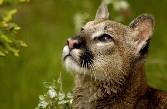 Watchful Cougar Montana wallpapers hd quality