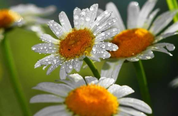 White Daisies wallpapers hd quality