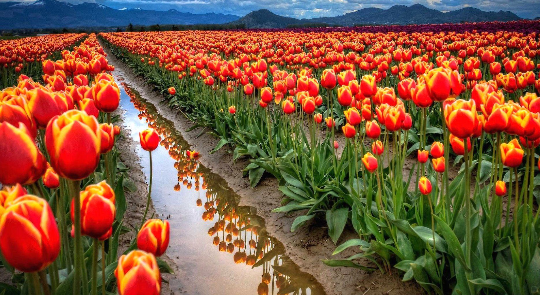 Amazing tulips field wallpapers HD quality