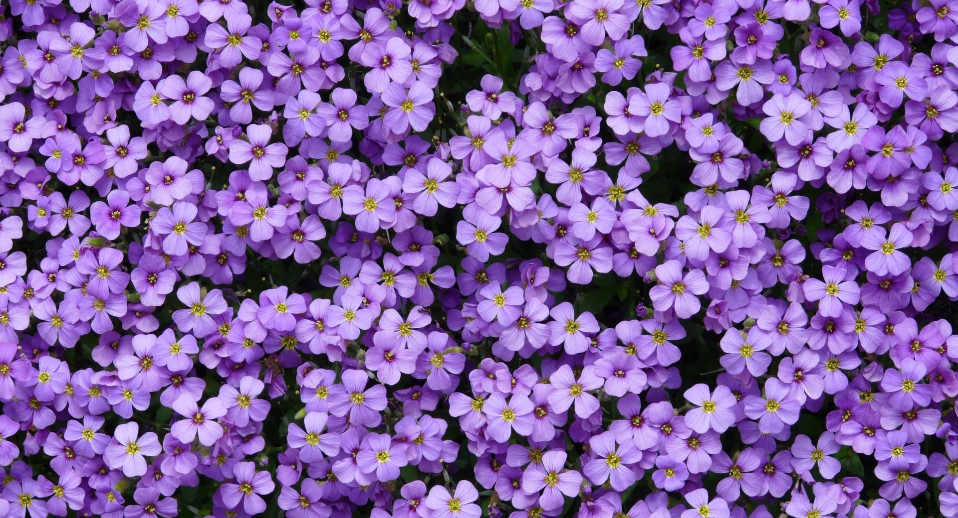 Aubrieta Flowers wallpapers HD quality