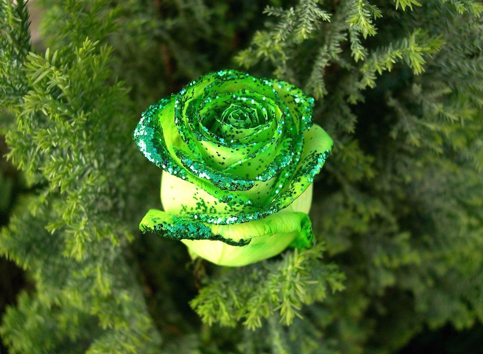 beautiful green rose wallpapers HD quality