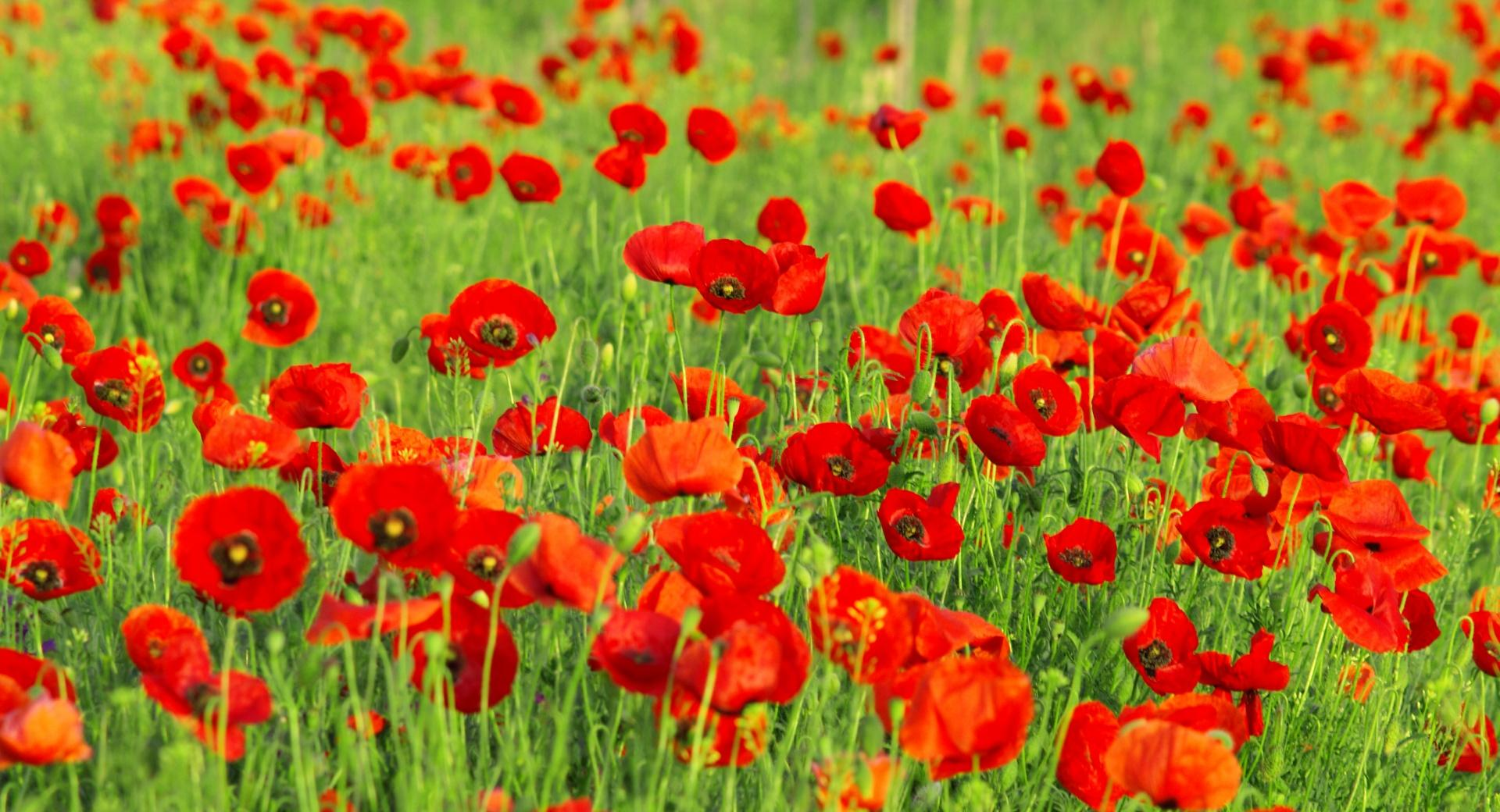 Beautiful Poppies Field wallpapers HD quality