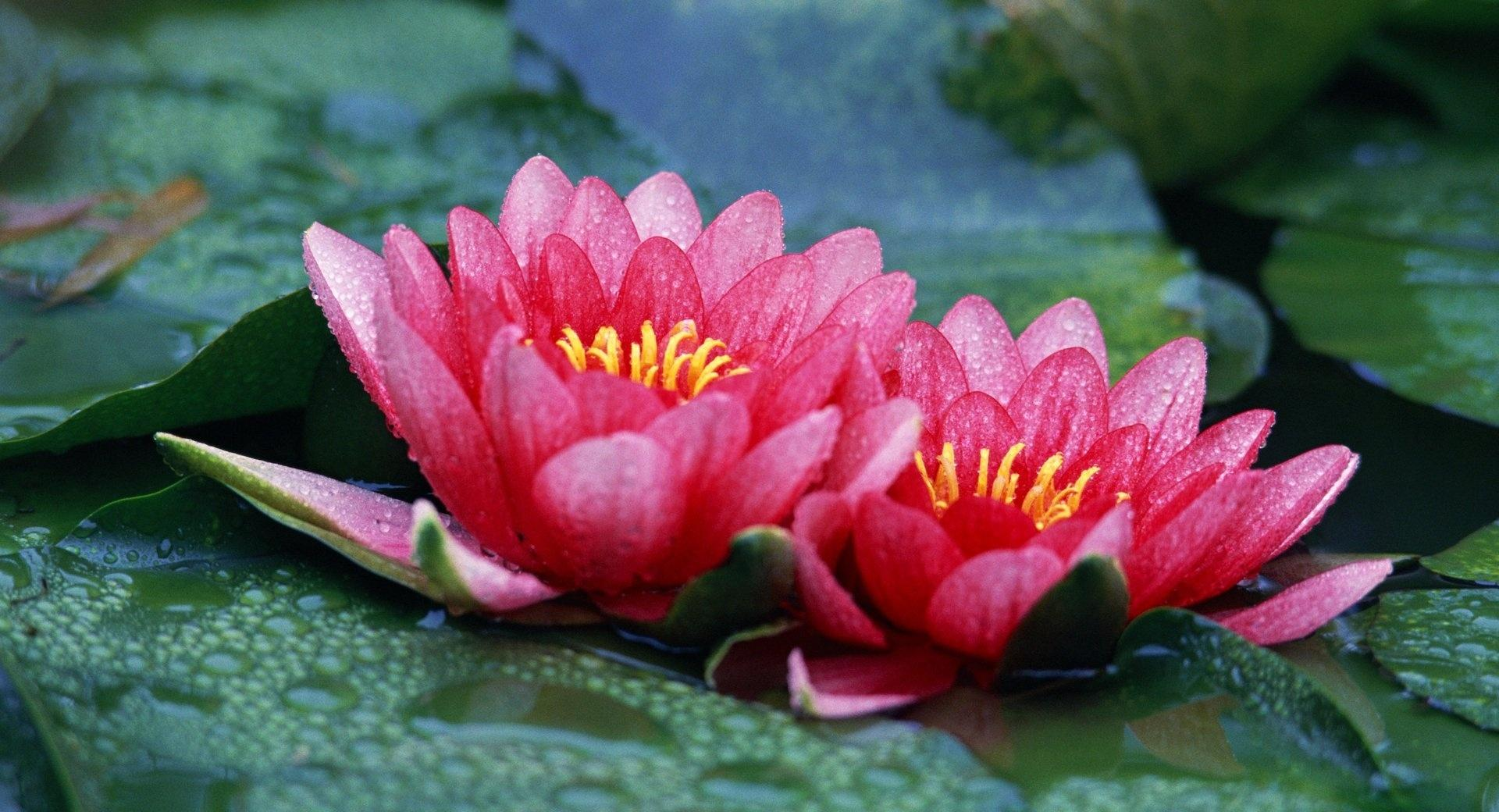 Beautiful Water Lilies wallpapers HD quality