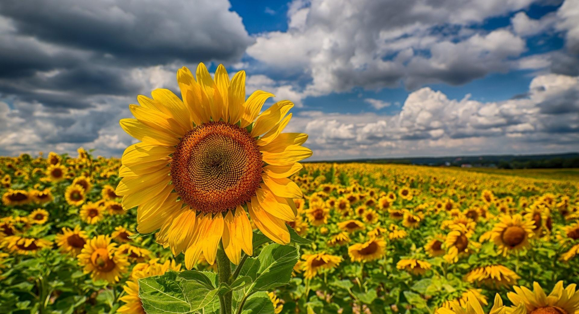 Big Sunflower In The Field wallpapers HD quality