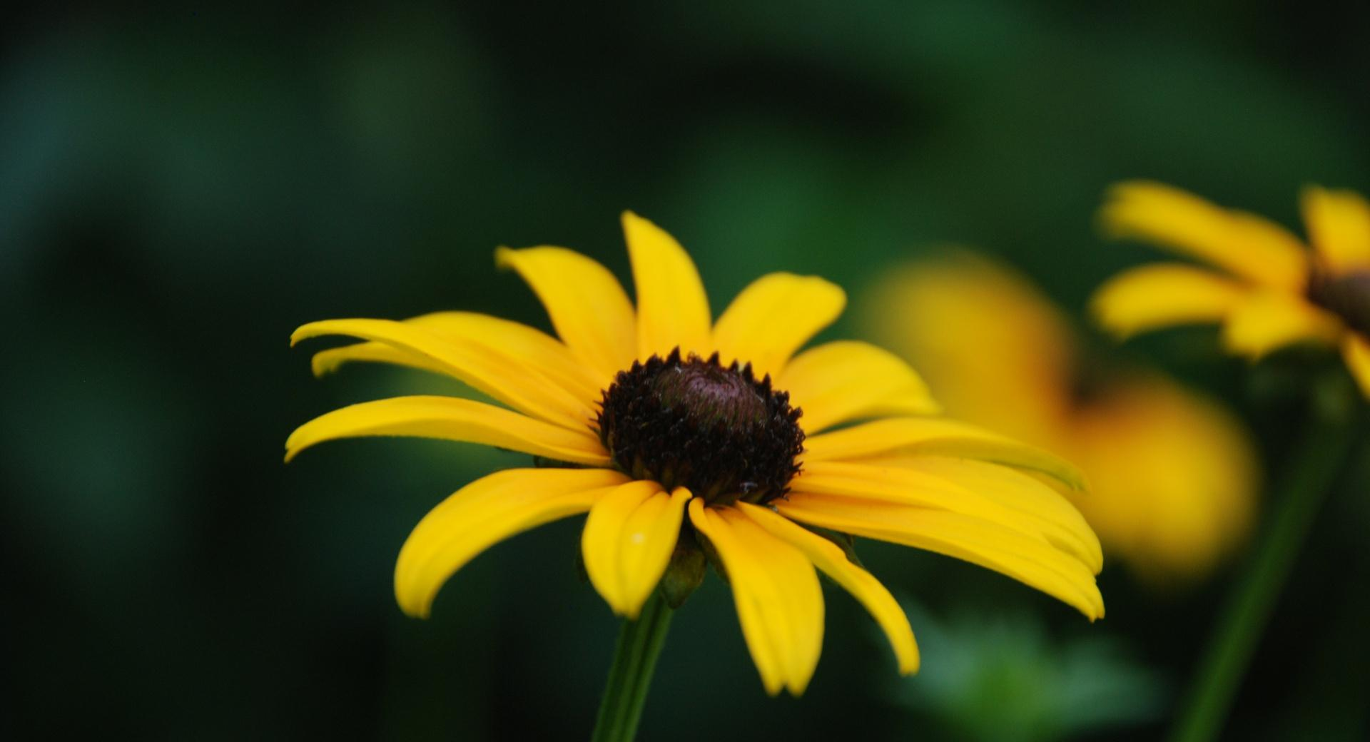 Black Eyed Susan Bloom Stage wallpapers HD quality