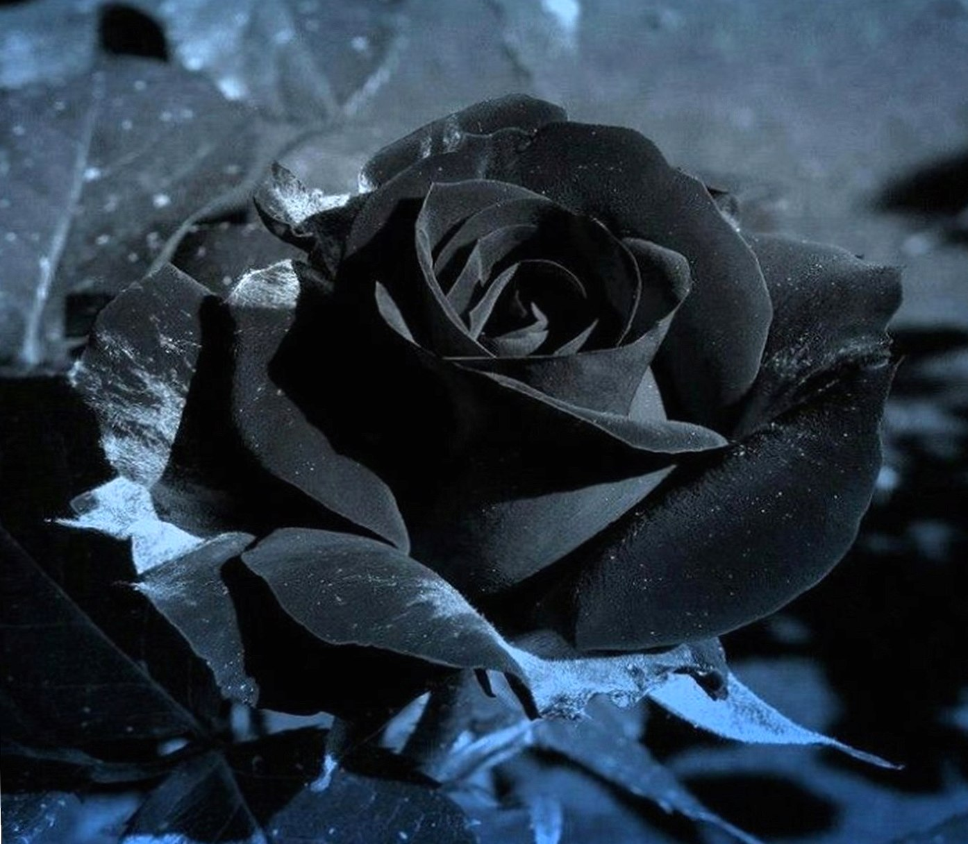 Black Rose wallpapers HD quality