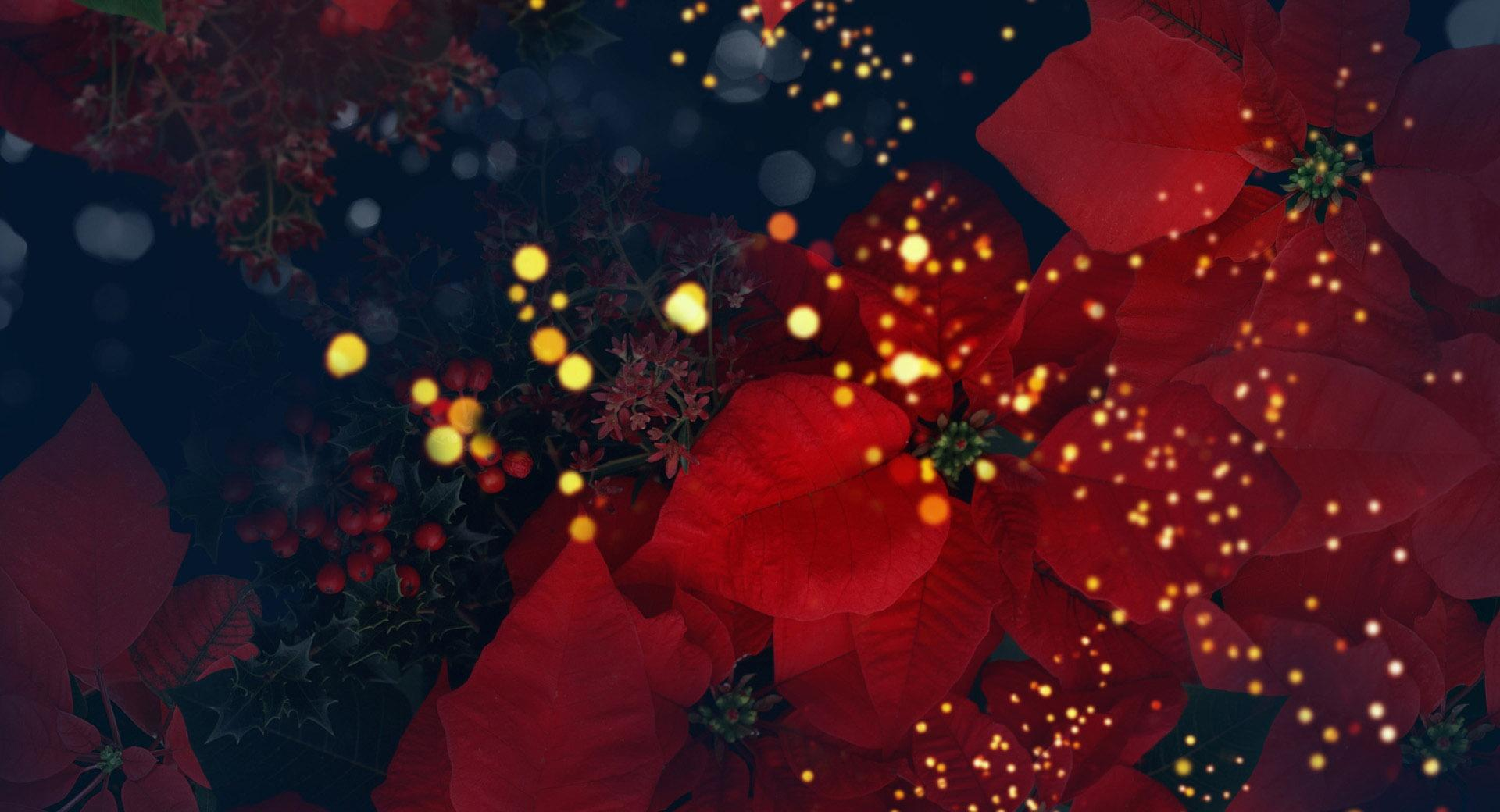 Blooming Poinsettias Red wallpapers HD quality