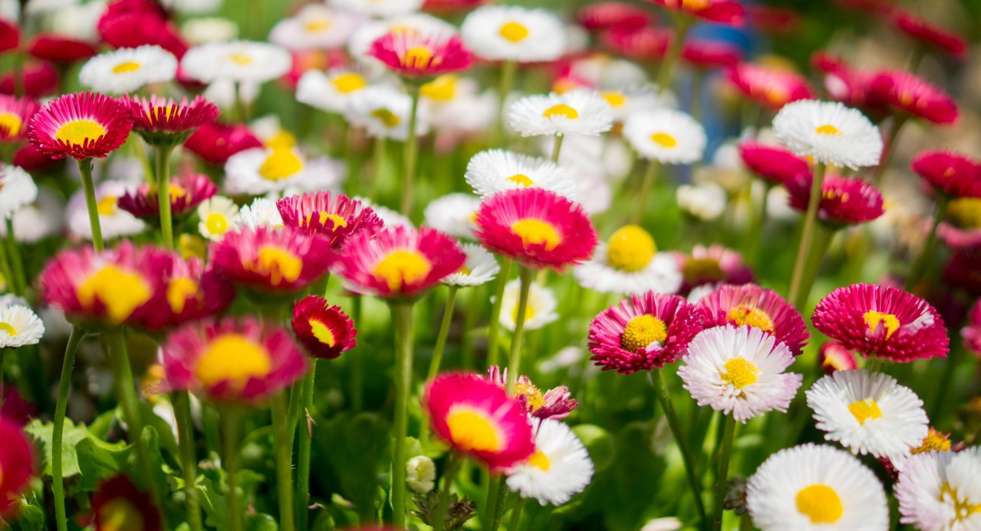 Colorful Daisies Flowers wallpapers HD quality