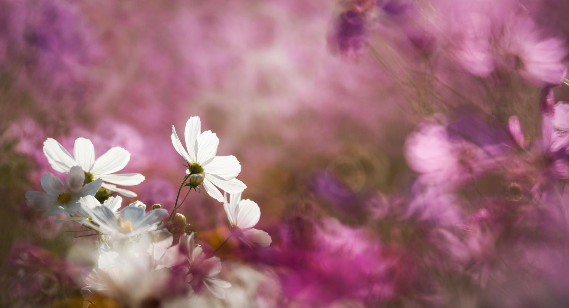 Cosmos Flowers wallpapers HD quality