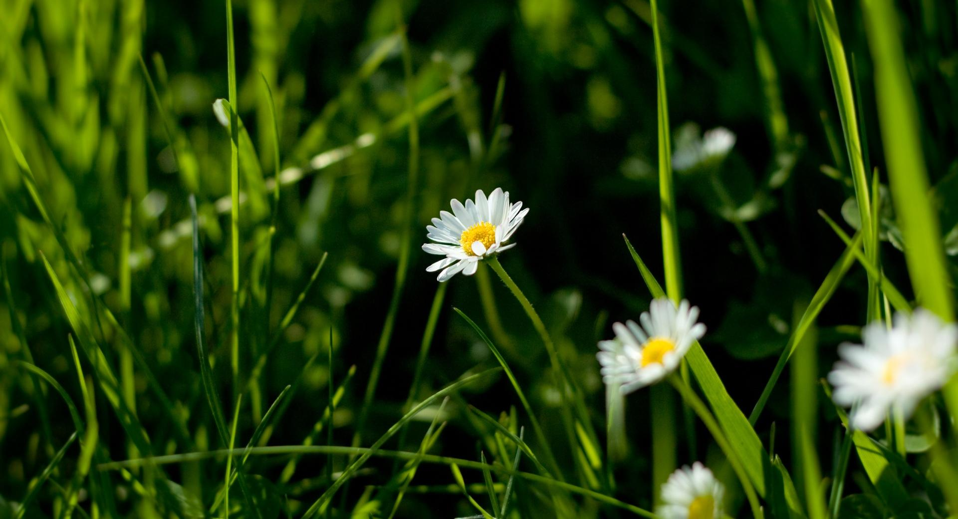 Daisies And Green Grass wallpapers HD quality