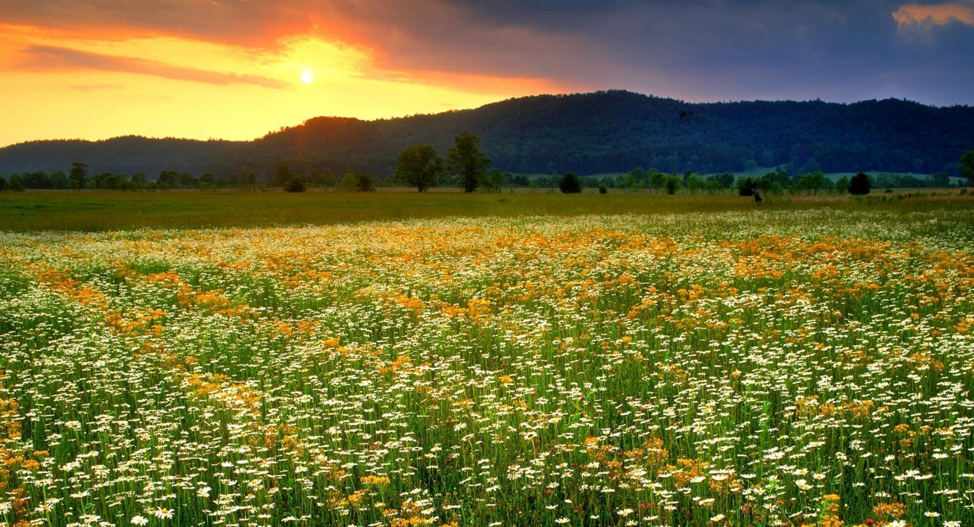 Daisies Field Landscape wallpapers HD quality