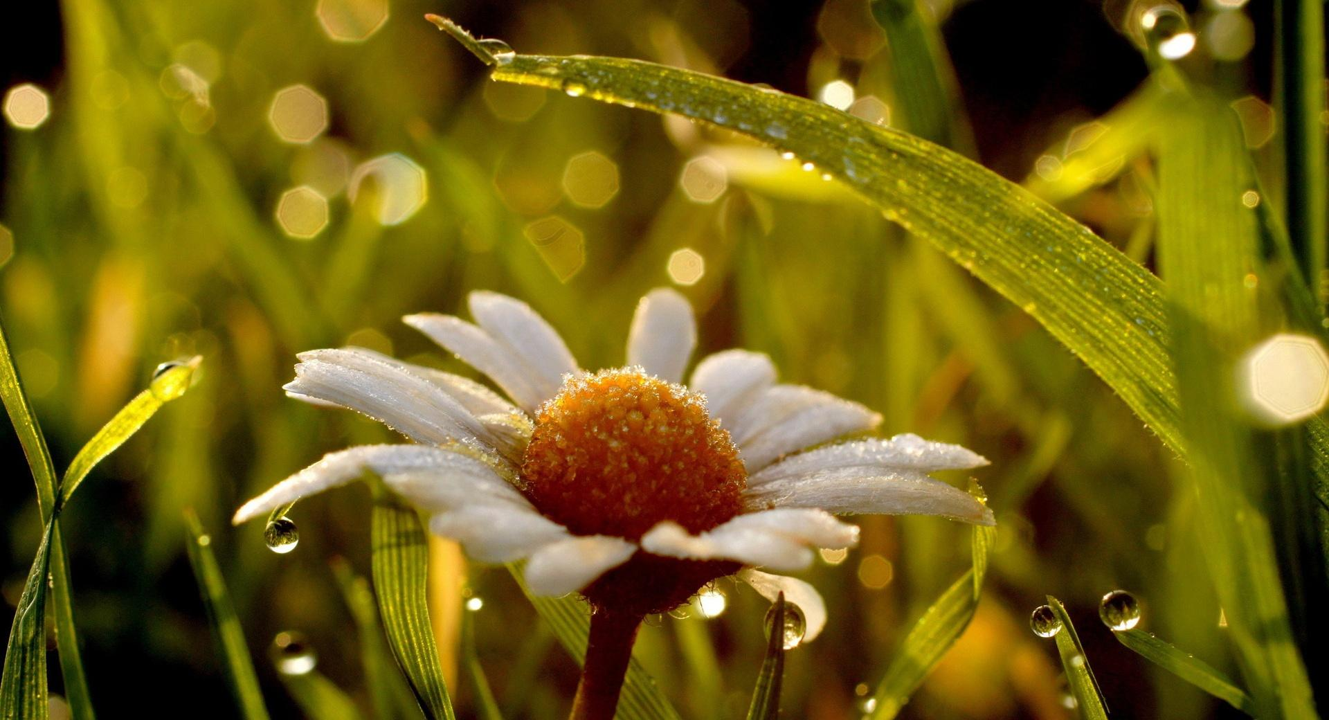 Daisy In Rain wallpapers HD quality