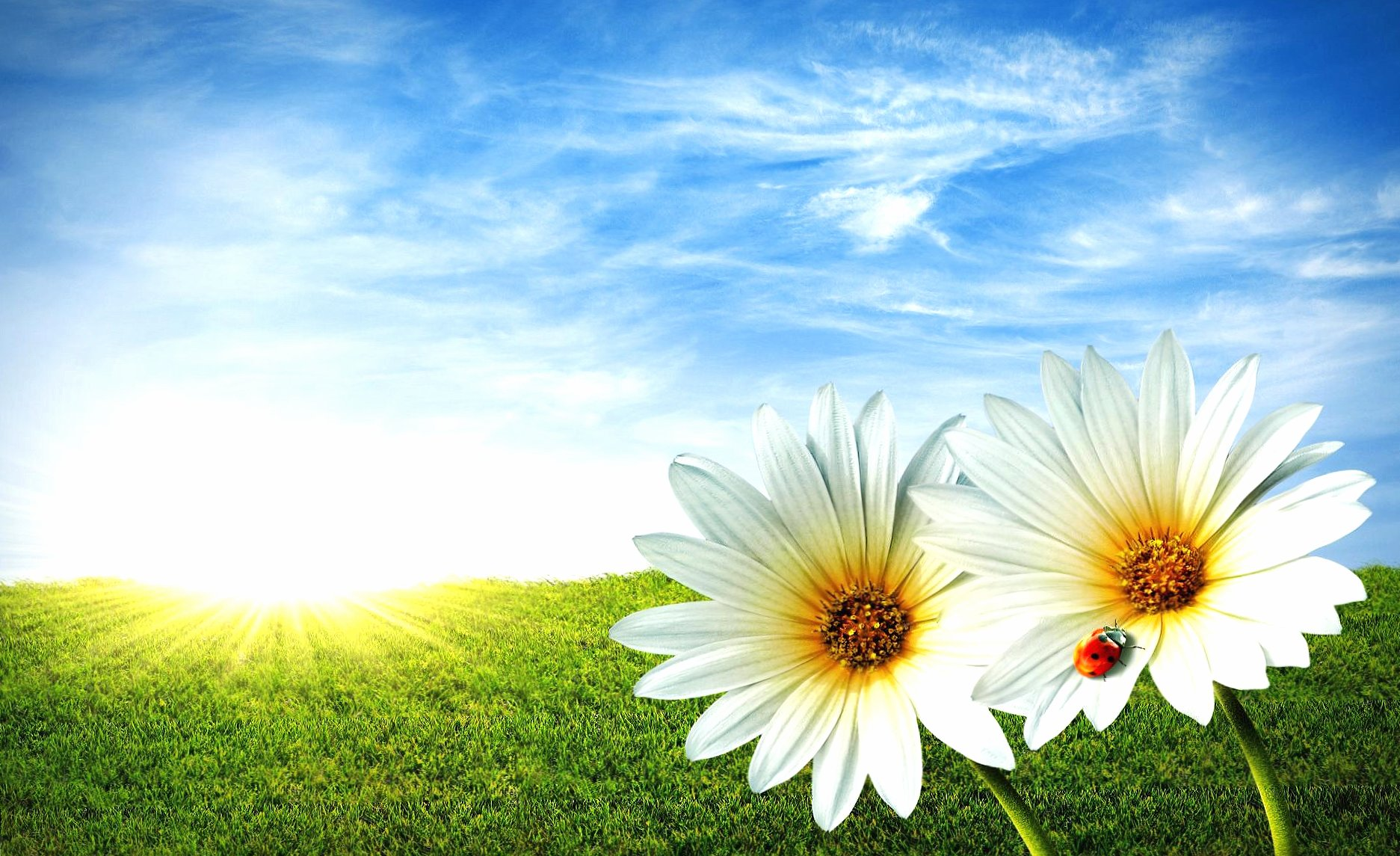 Daisy ladybug grass sky wallpapers HD quality