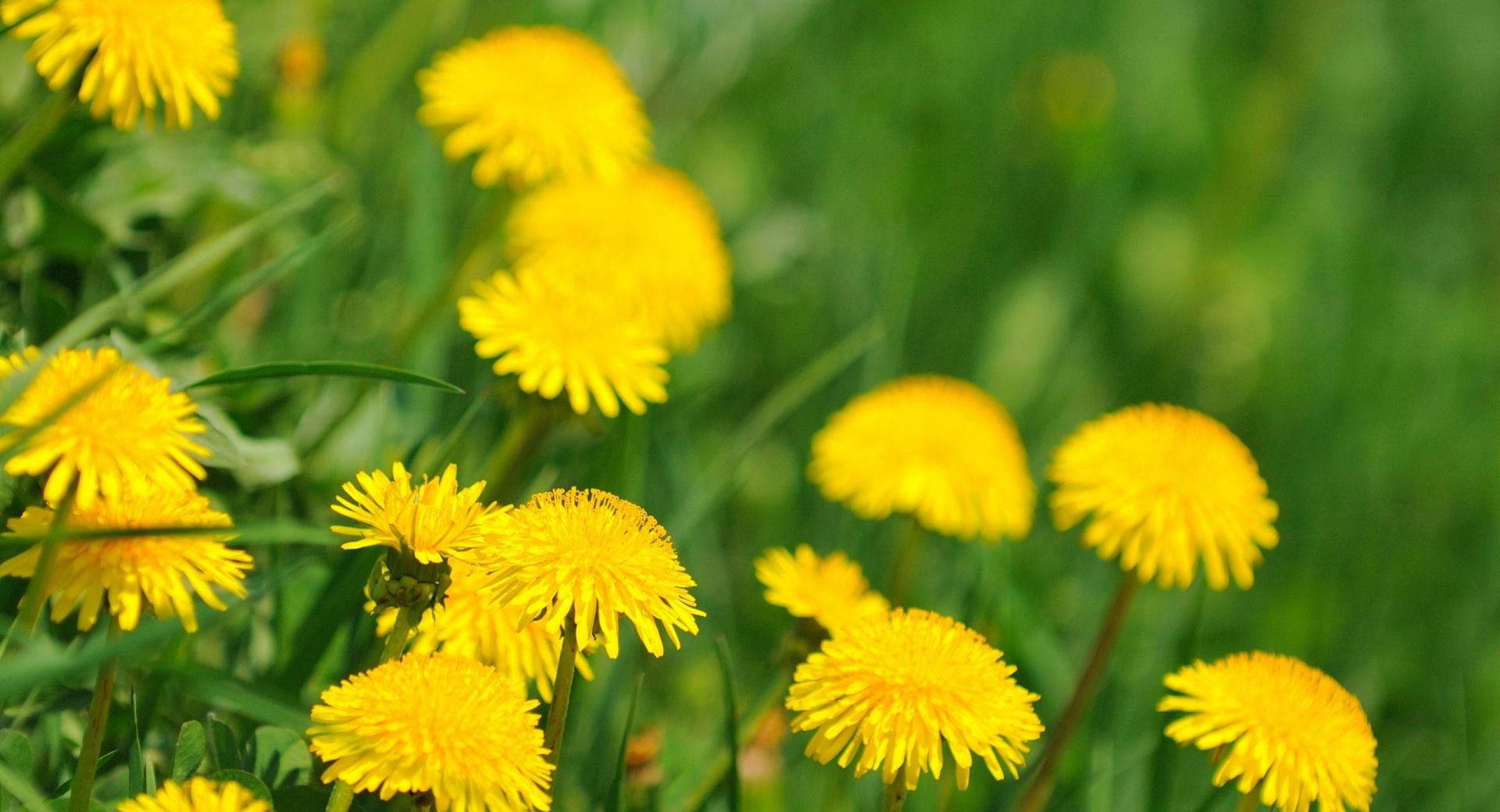 Dandelions wallpapers HD quality