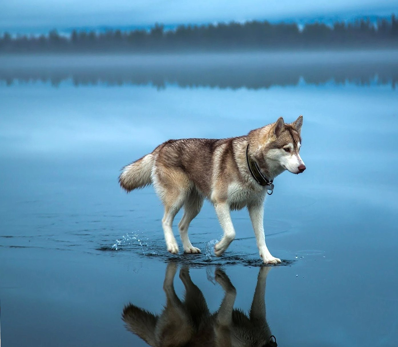 Dog walking on water wallpapers HD quality