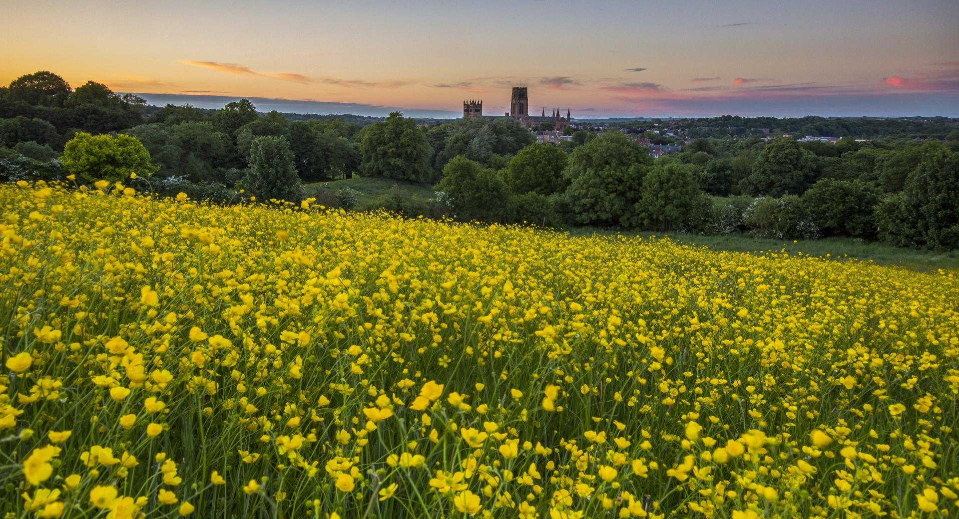 Durham Buttercup wallpapers HD quality