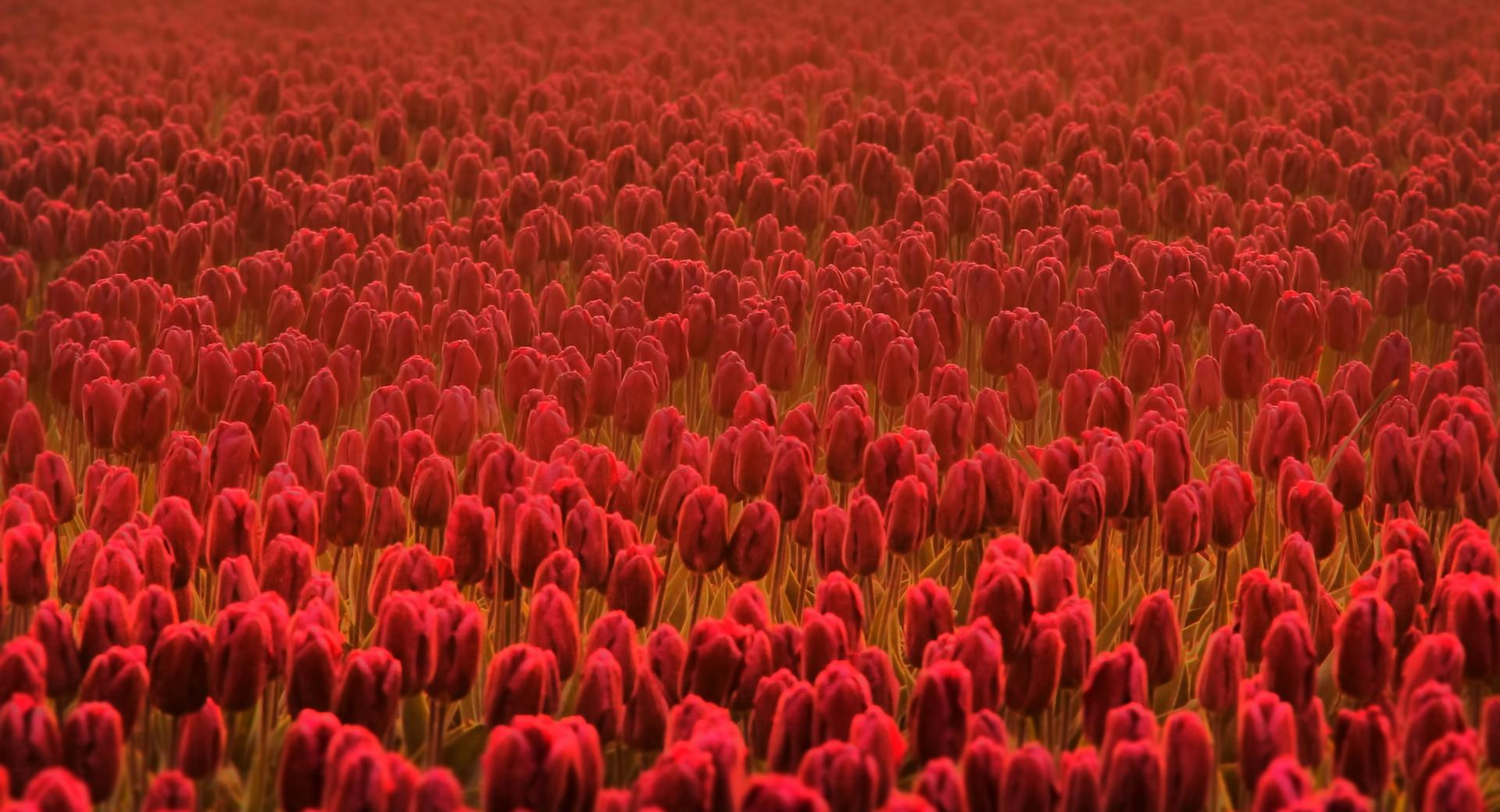 Field Of Scarlet Tulips wallpapers HD quality