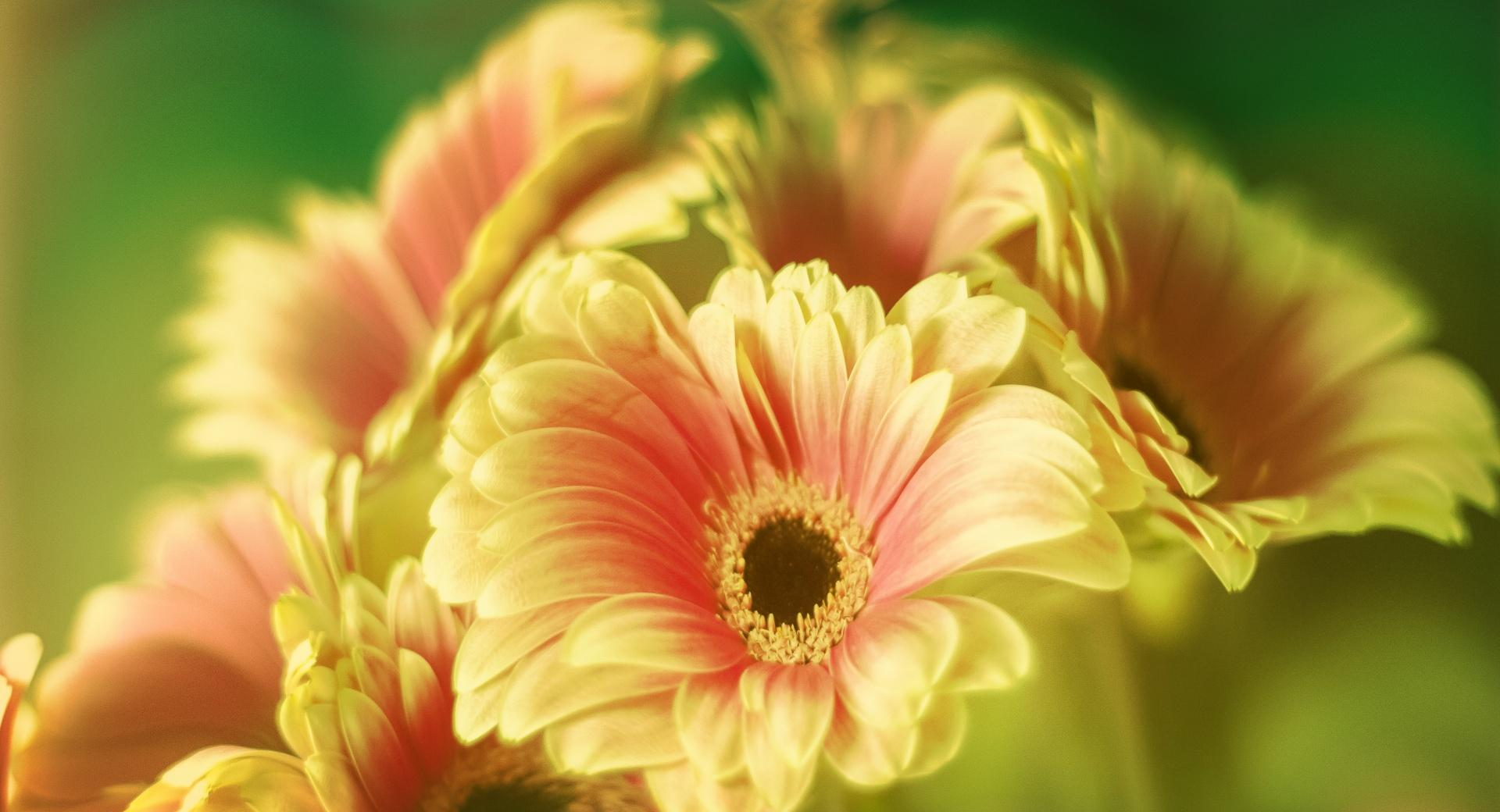 Gerbera Daisy Bouquet wallpapers HD quality