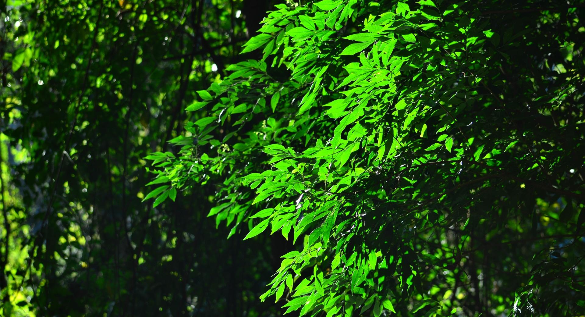 Green Leaves wallpapers HD quality