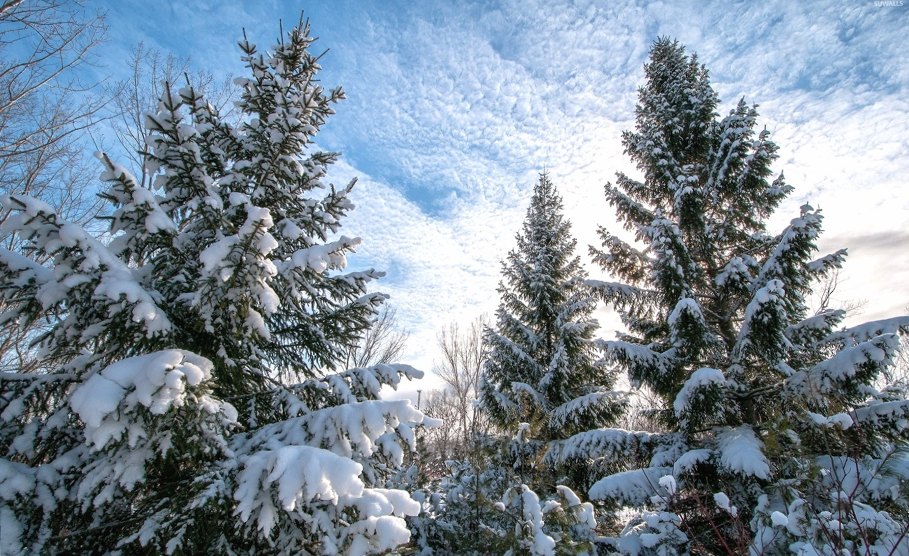 Heavy snow on the tall pine trees wallpapers HD quality