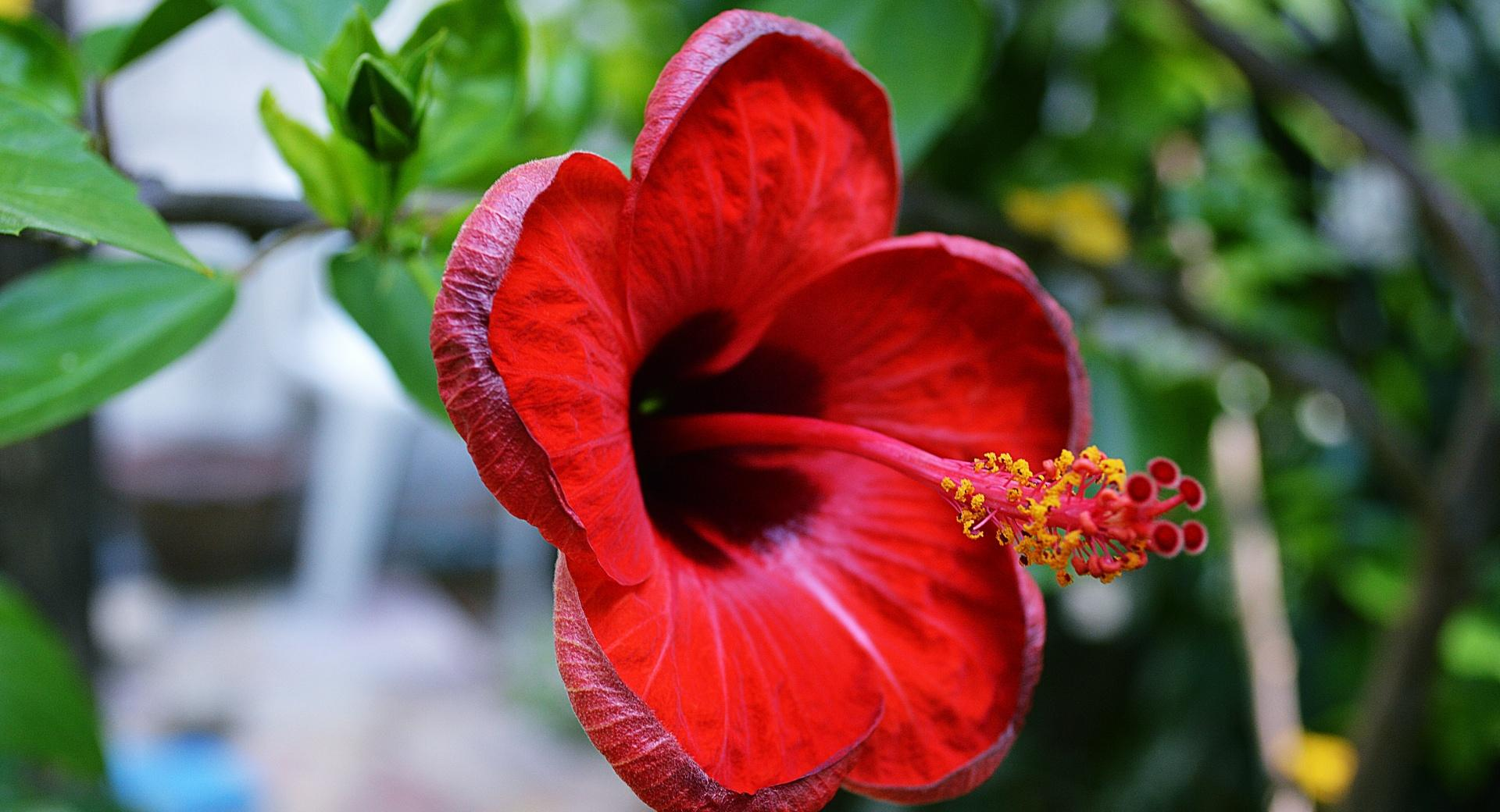Hibiscus rosa-sinensis wallpapers HD quality