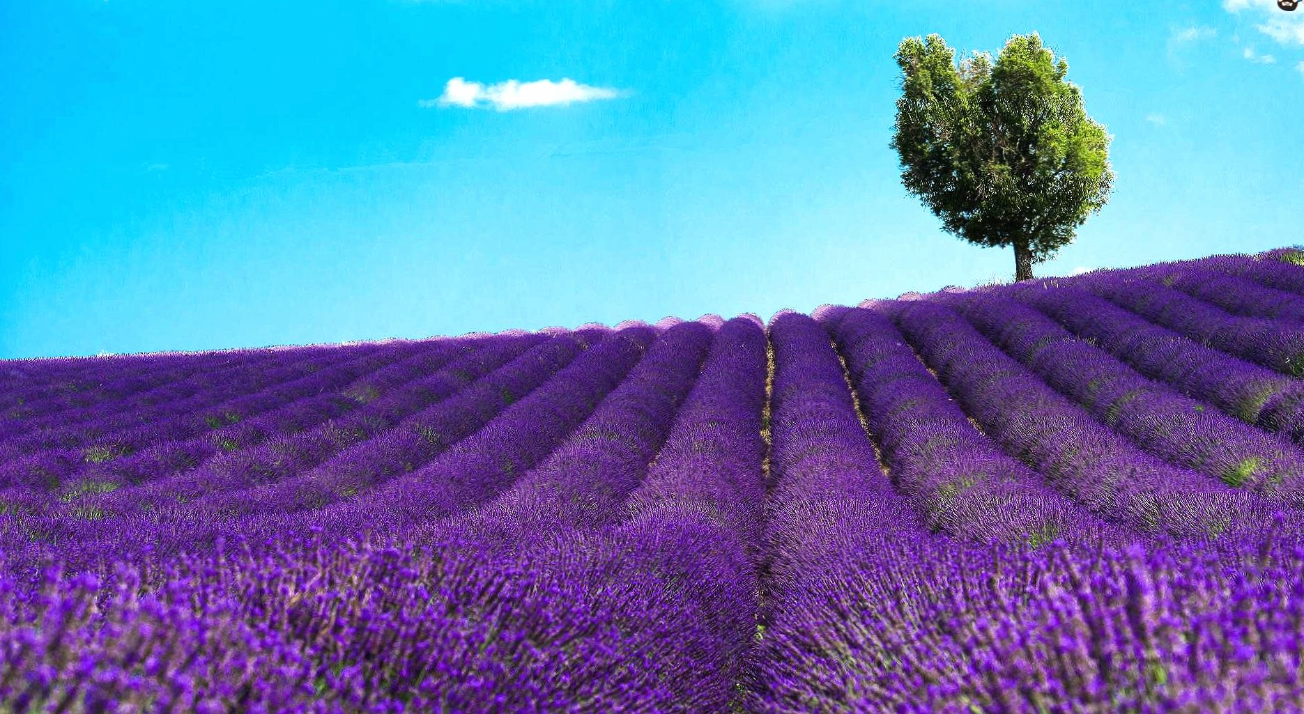 lavander field wallpapers HD quality
