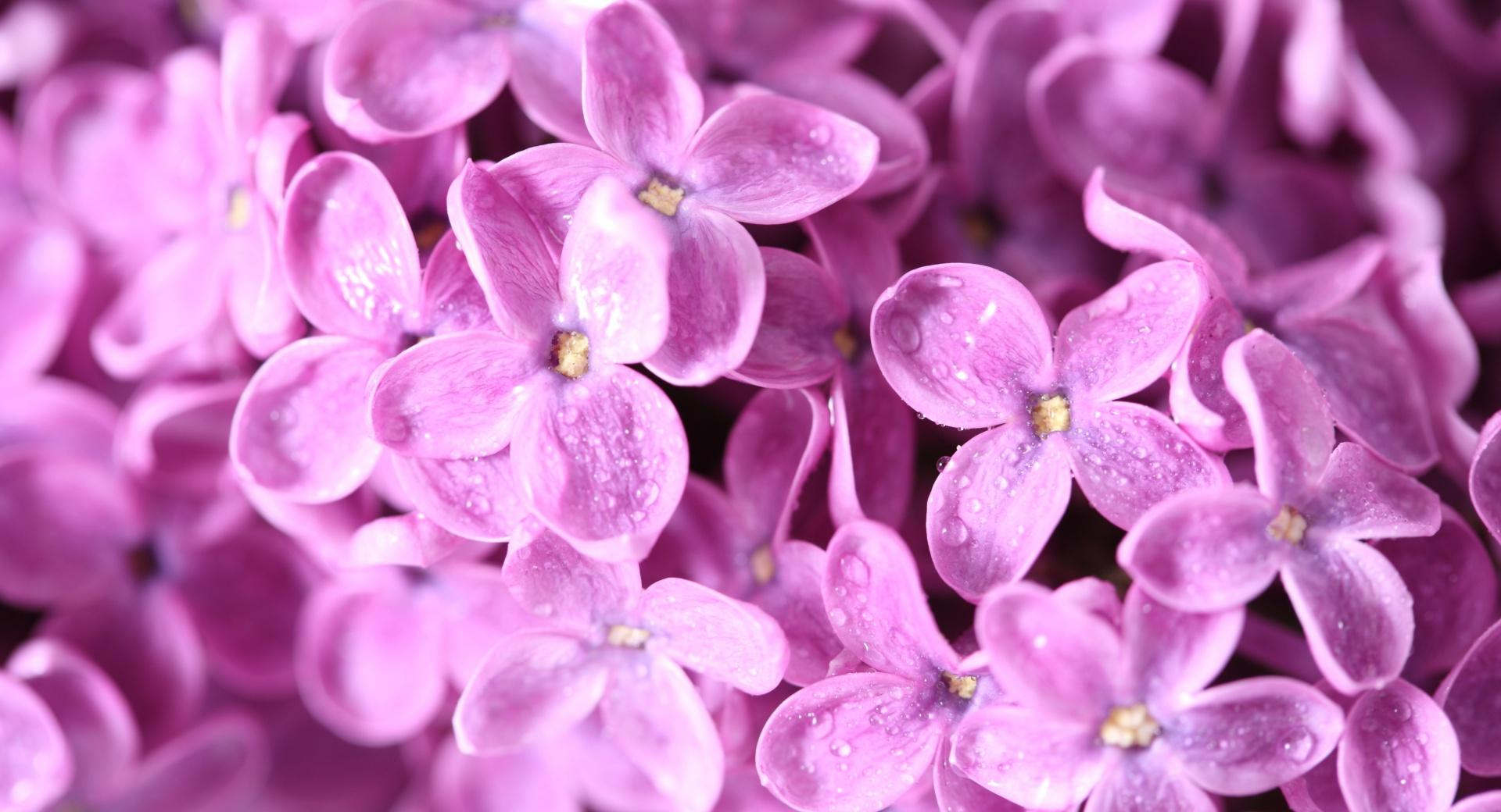 Lilac Flowers Macro wallpapers HD quality
