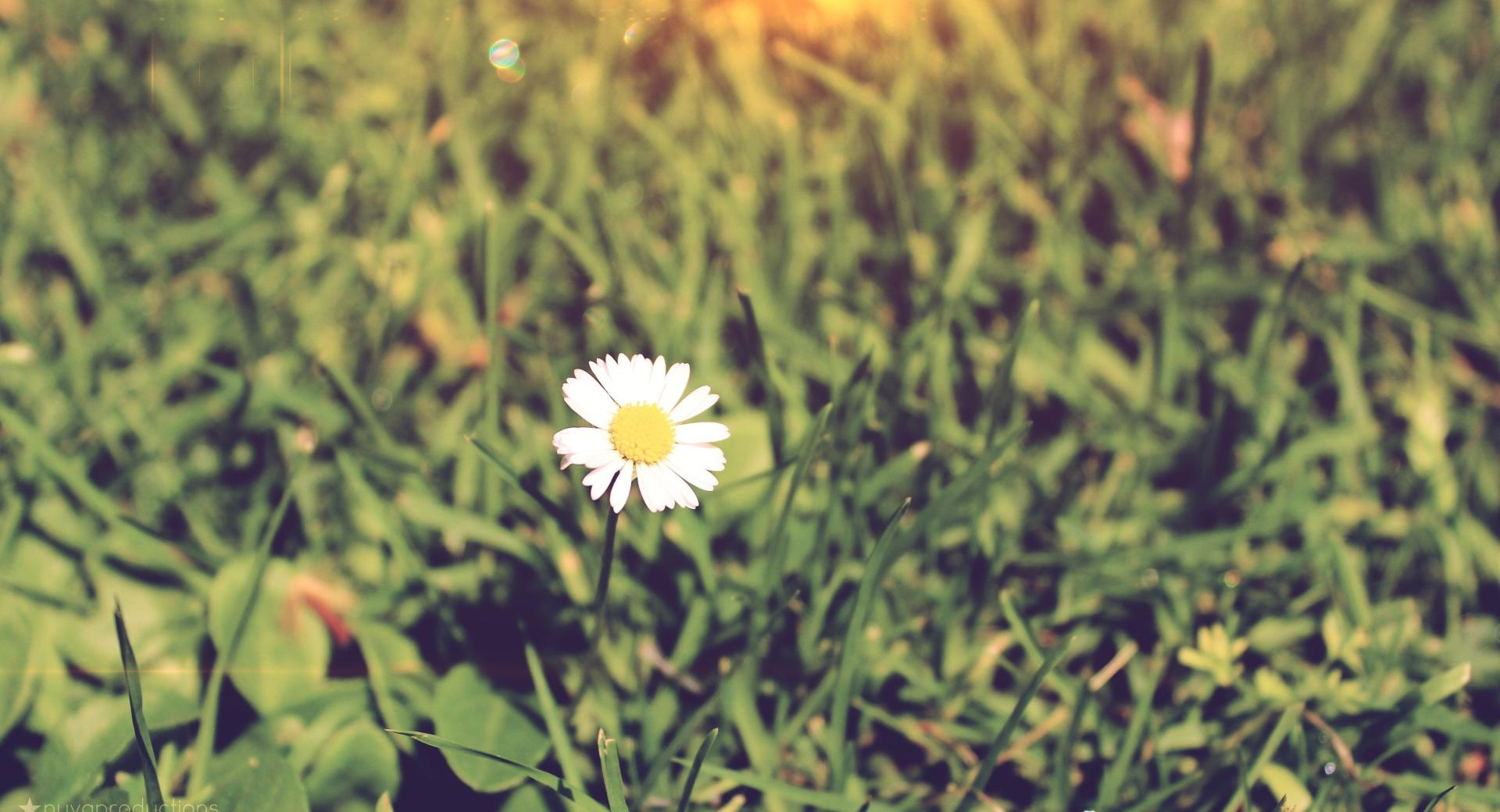 Little Daisy wallpapers HD quality