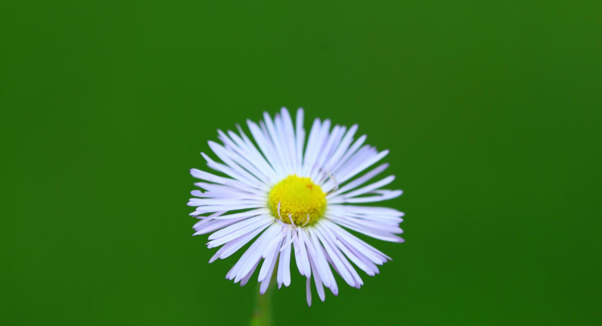Little Wild Daisy wallpapers HD quality