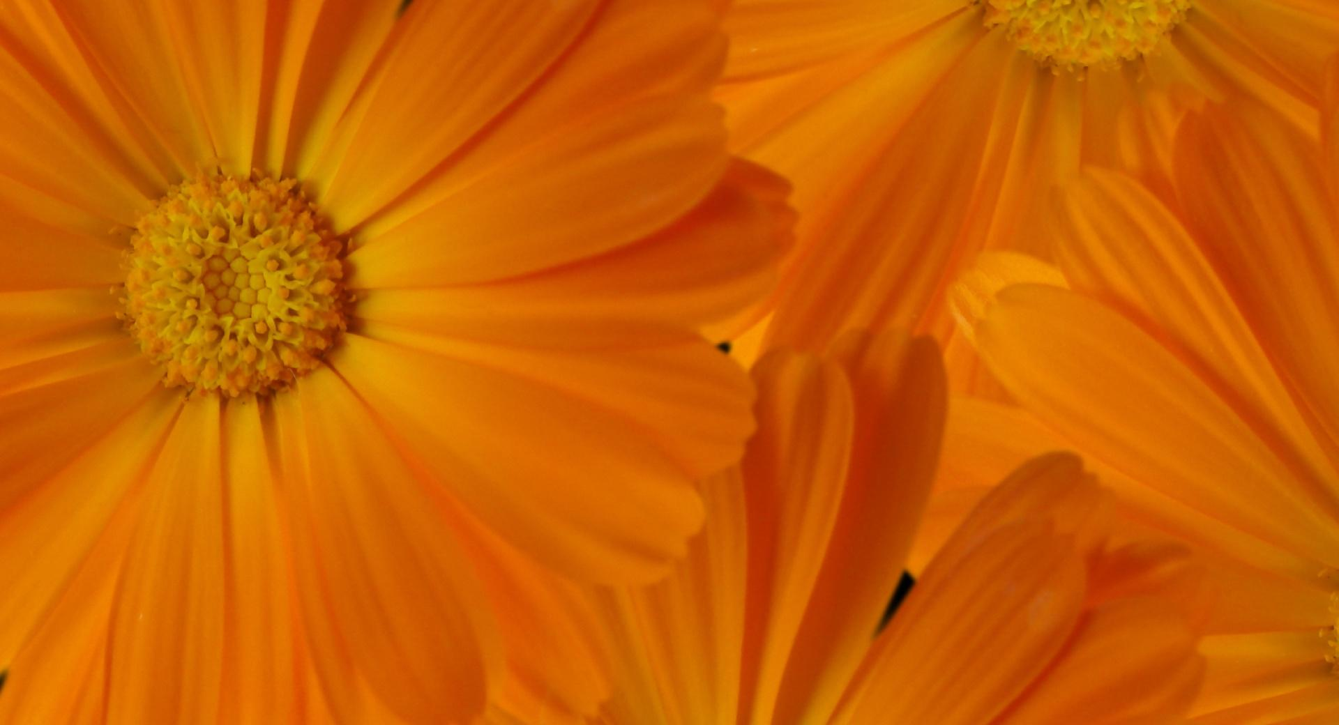 Marigolds wallpapers HD quality