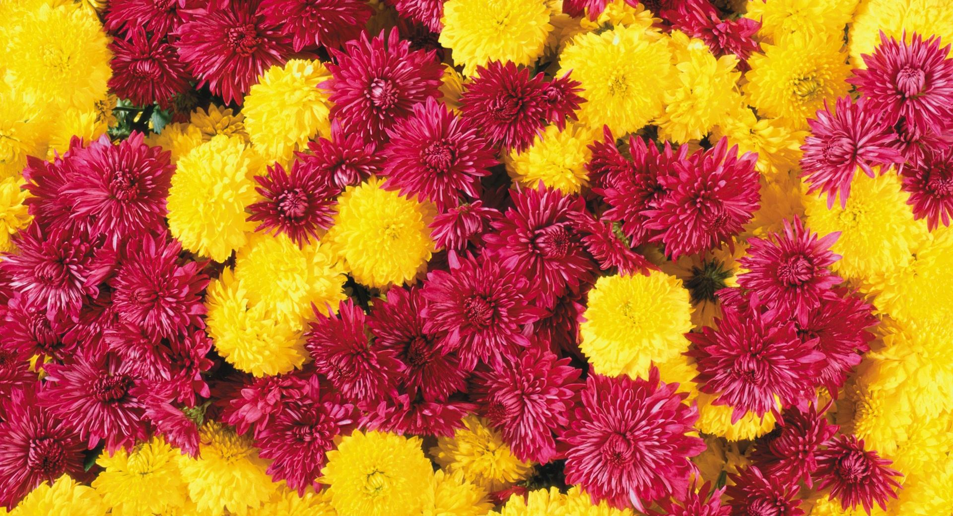 Mums Flowers wallpapers HD quality