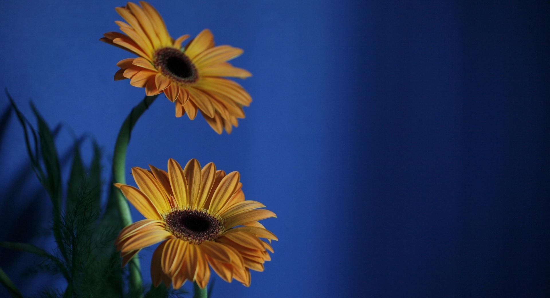 Orange Gerbera Flowers, Blue Background wallpapers HD quality
