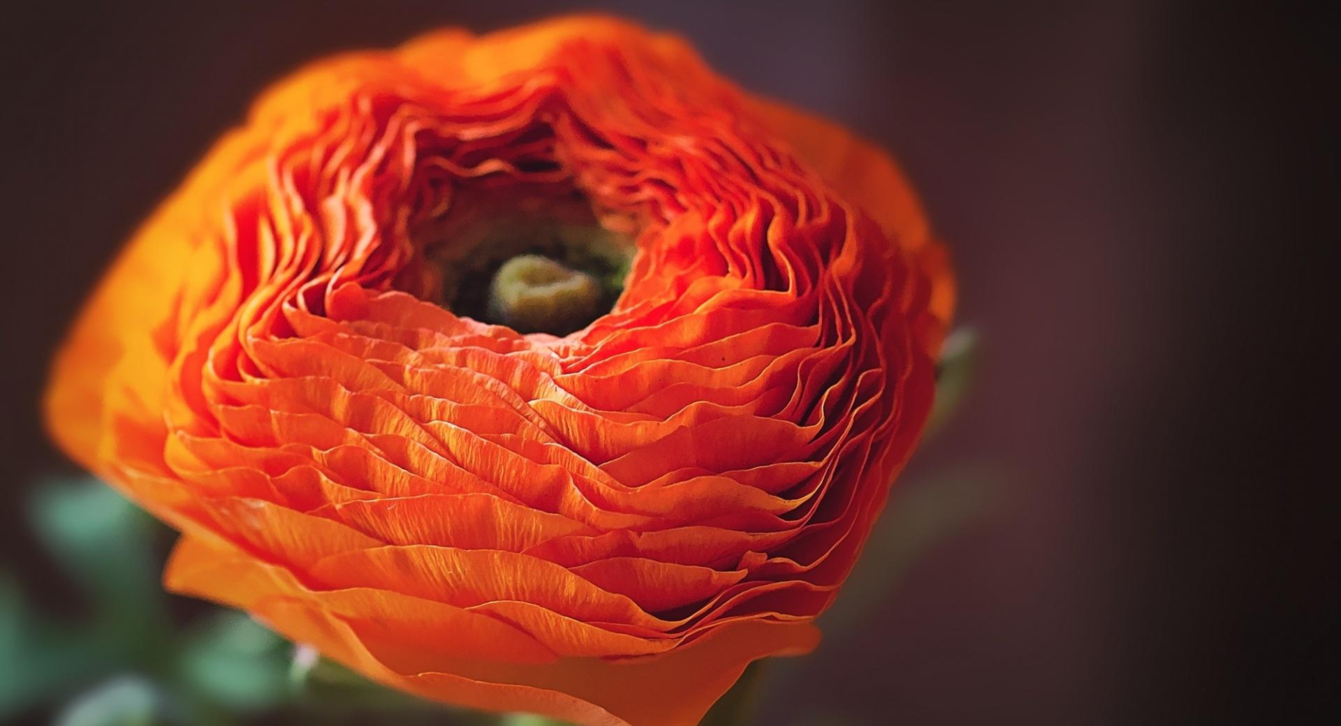 Orange Persian Buttercup Flower wallpapers HD quality