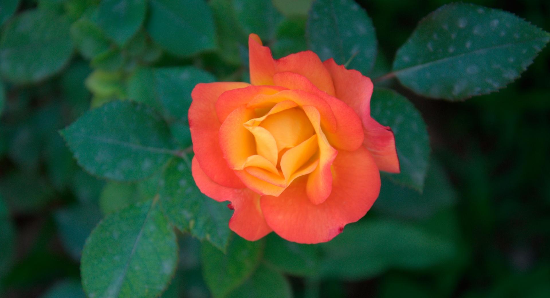 Orange Rose wallpapers HD quality