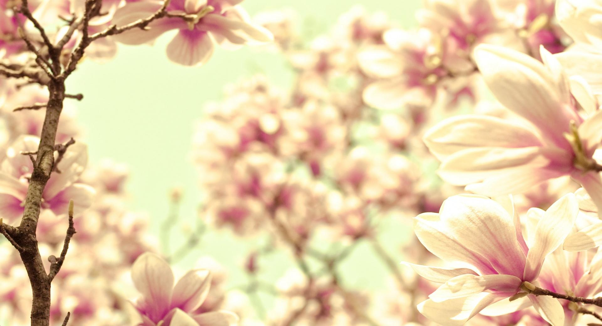 Pink Magnolia wallpapers HD quality