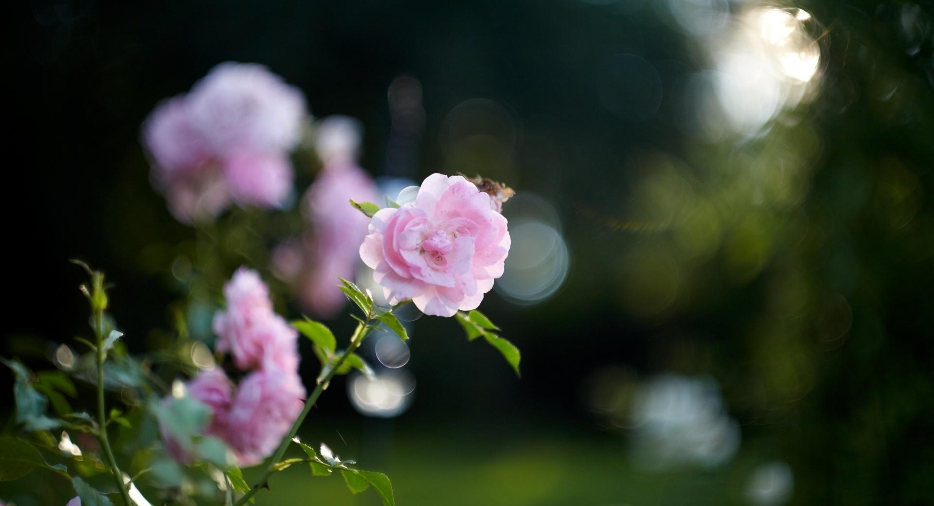 Pink Rose Bokeh at 2048 x 2048 iPad size wallpapers HD quality