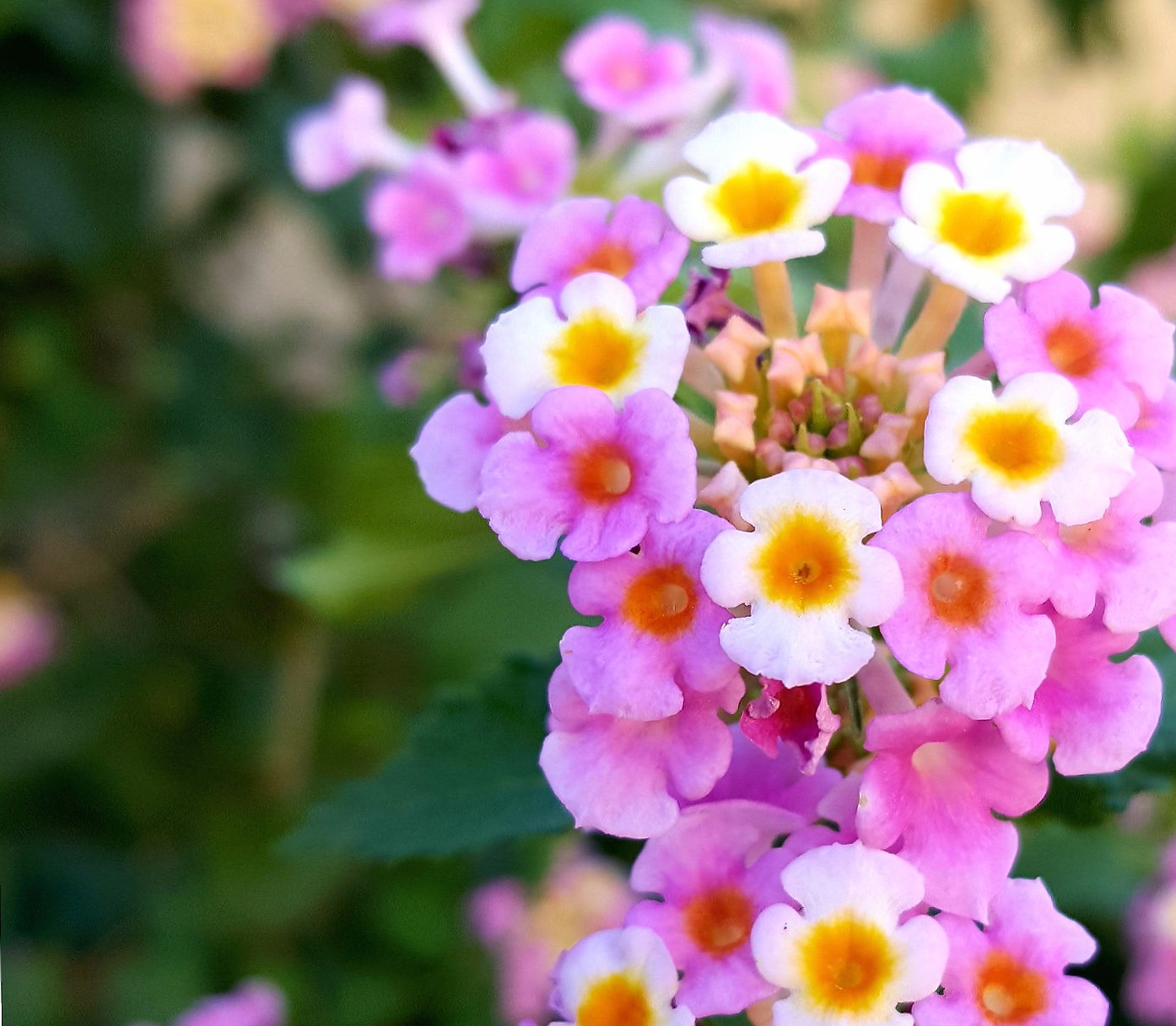 Pink Yellow Flowers wallpapers HD quality