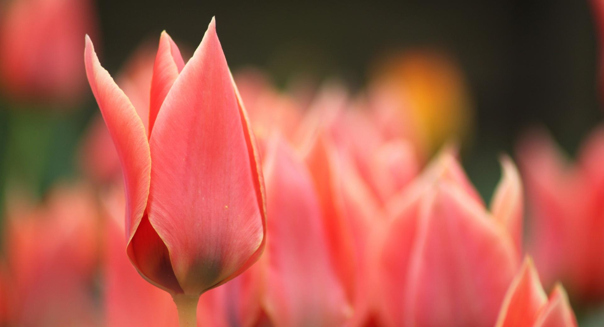 Pointy Tulip Bud wallpapers HD quality