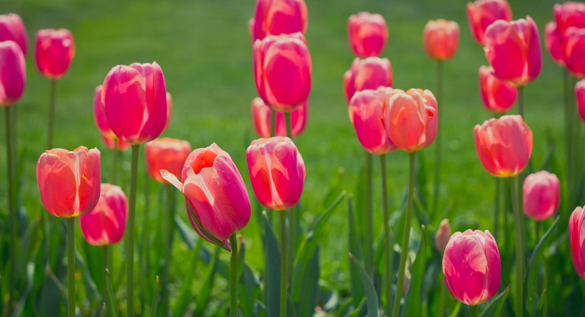Pretty Tulips Flowers wallpapers HD quality