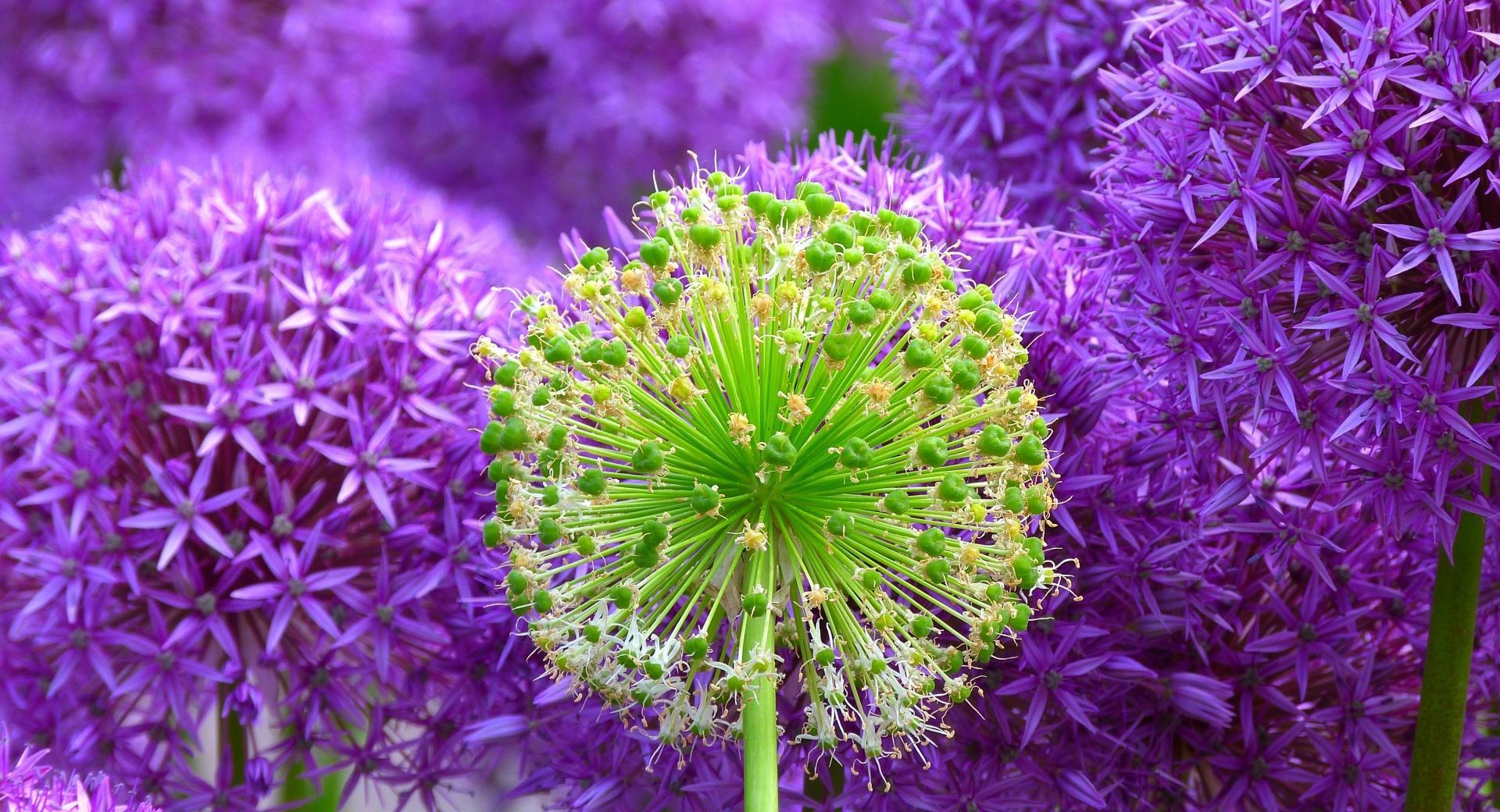 Purple Onion Flowers wallpapers HD quality