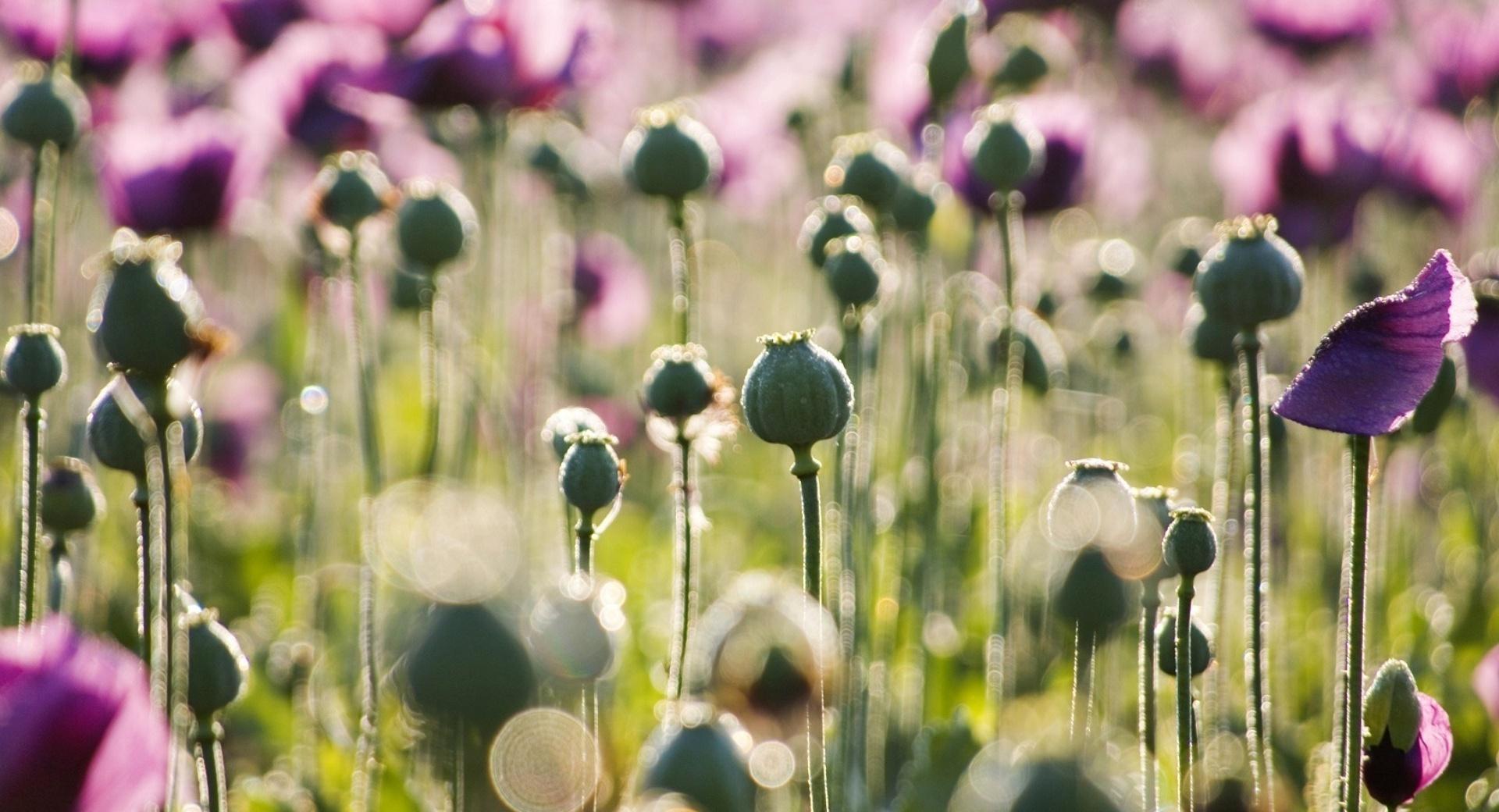 Purple Poppy wallpapers HD quality