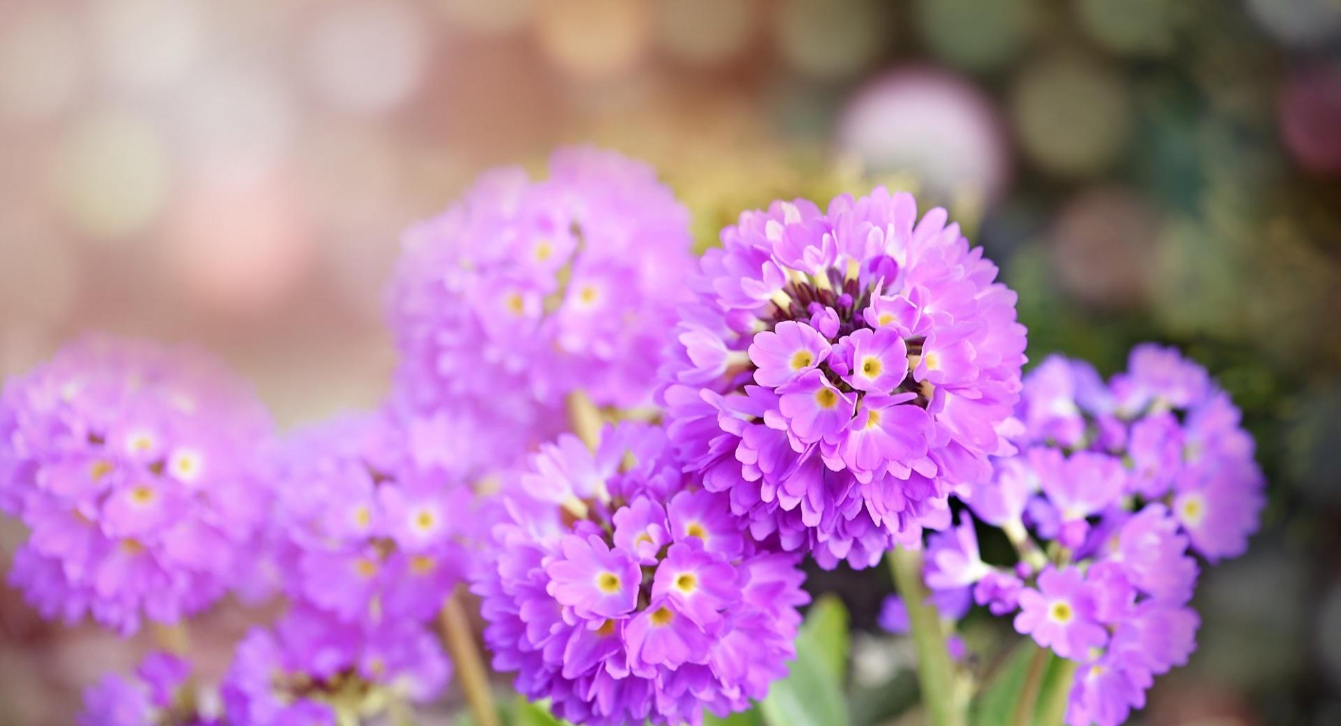 Purple PrimRose Flower wallpapers HD quality