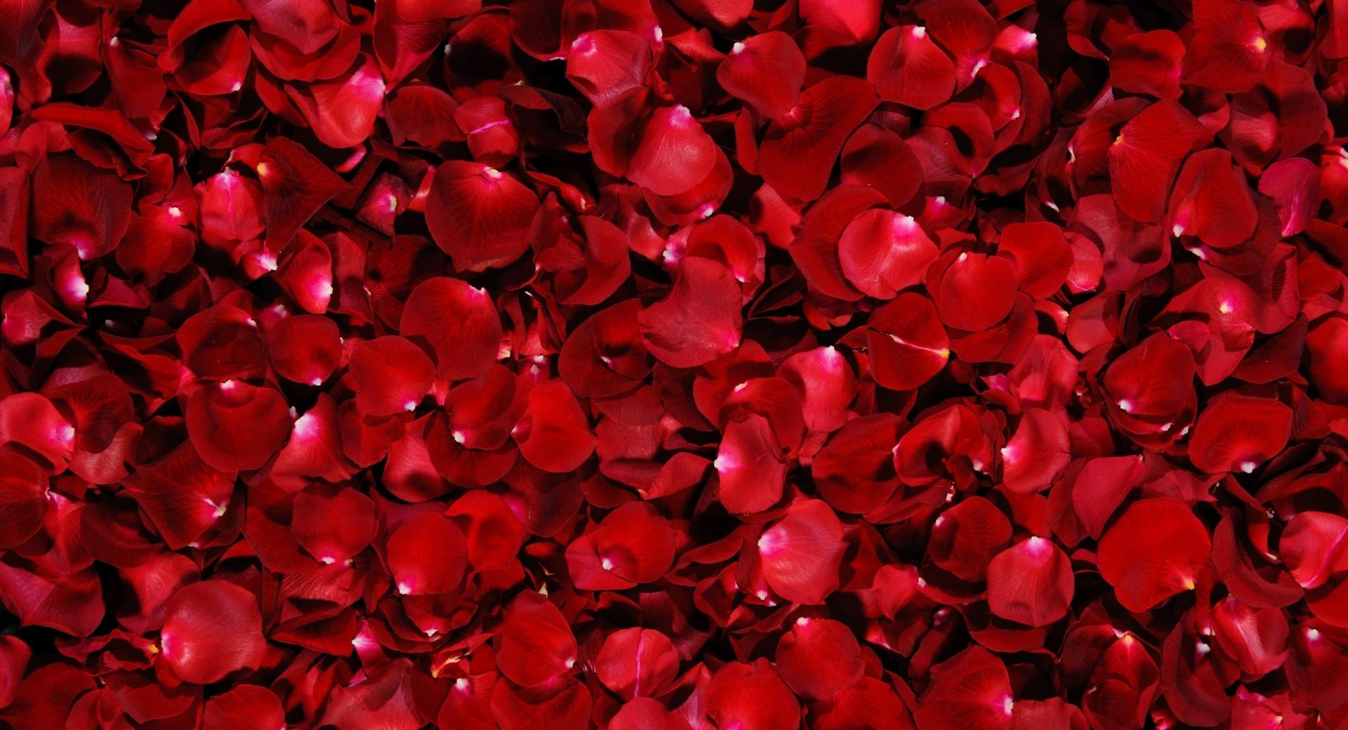 Red Rose Petals wallpapers HD quality