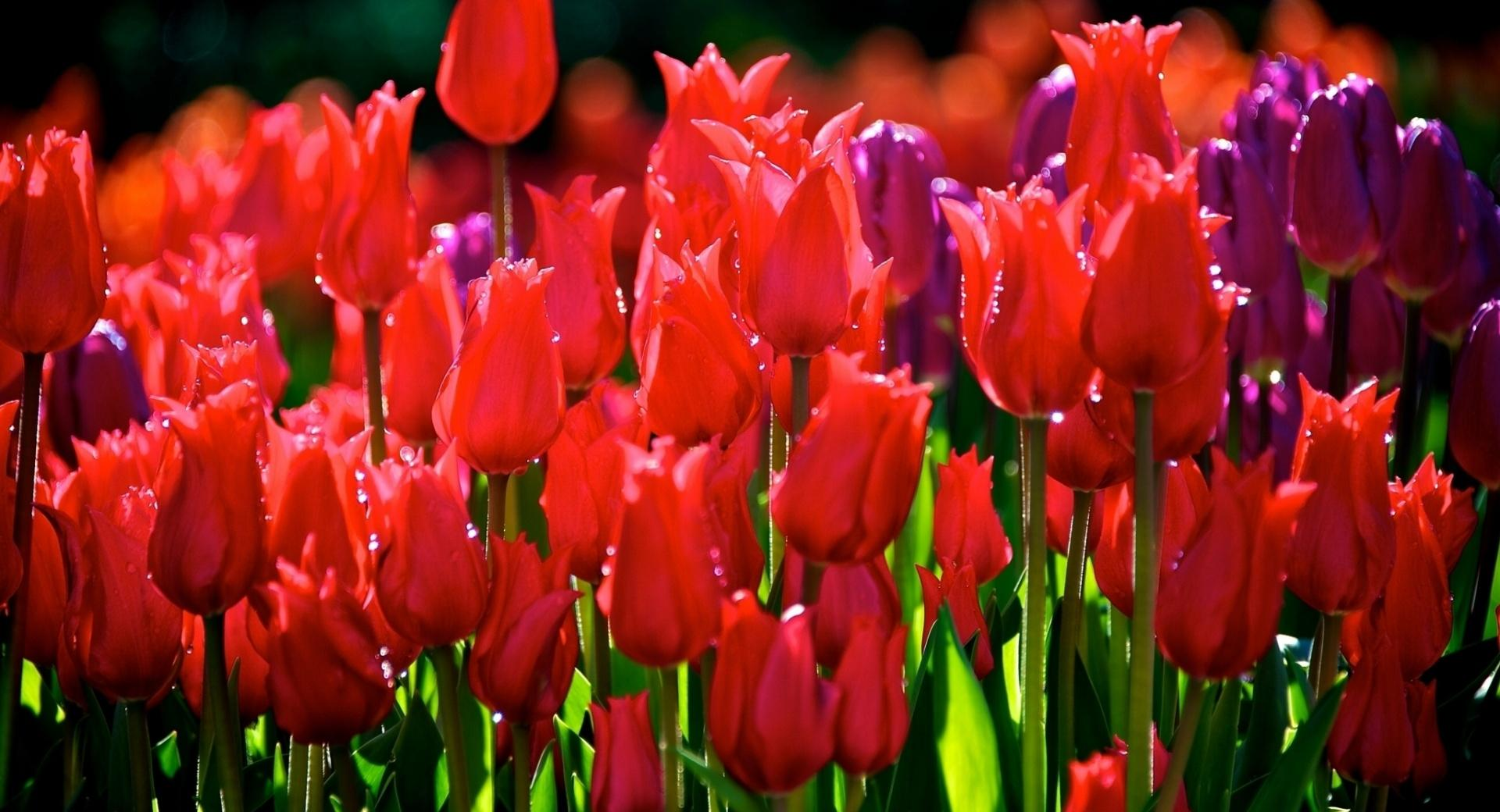 Red Tulips wallpapers HD quality