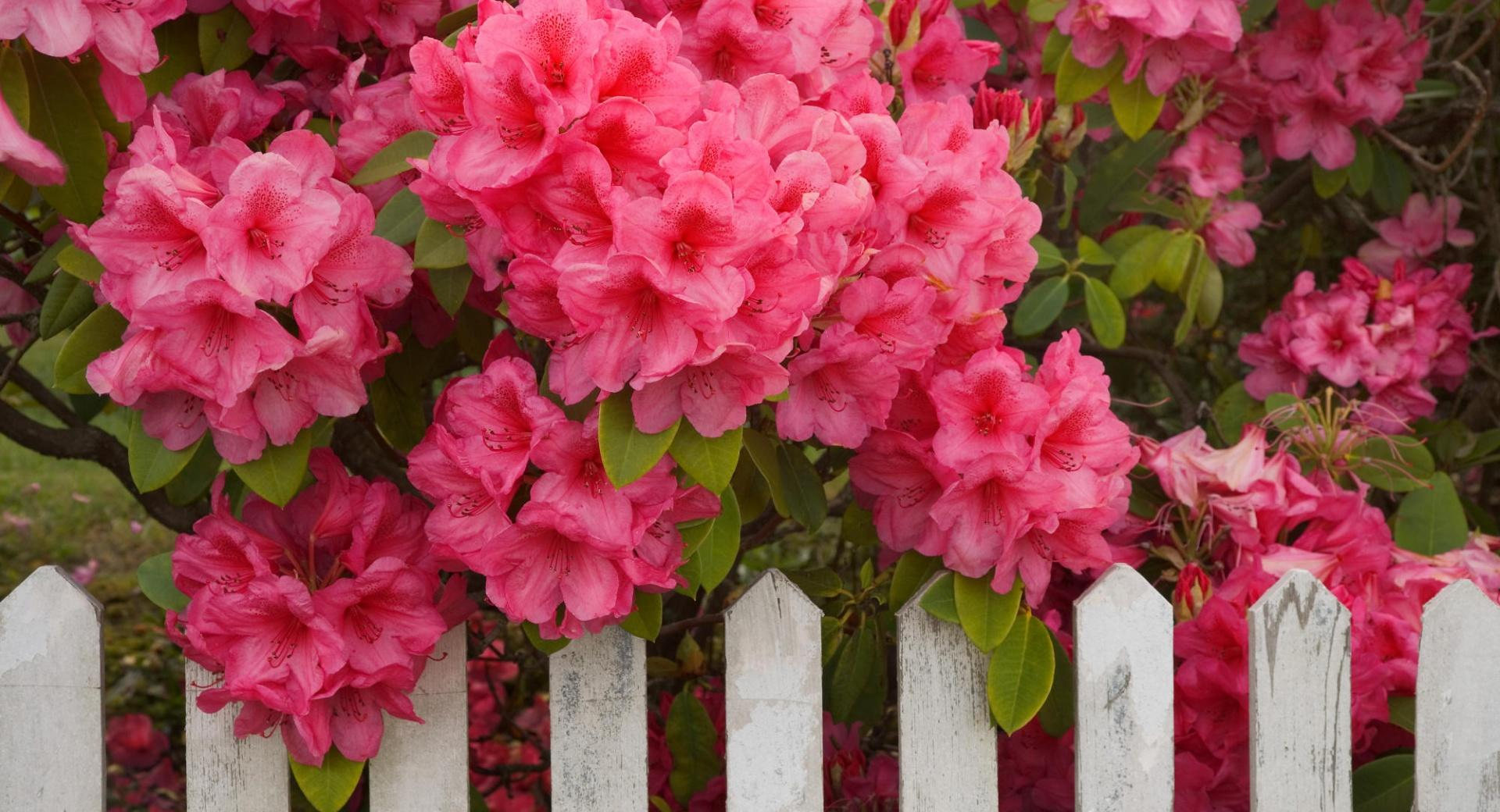 Rhododendron And Fence Reedsport Oregon wallpapers HD quality